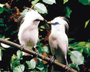 Burung Jalak Bali (Leucopsar rothschildi)