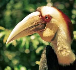Burung Julang Emas