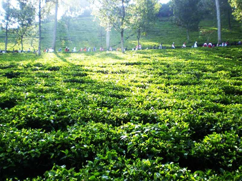 Budidaya Teh hijau