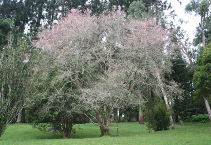 Sakura Bermekaran di Cibodas