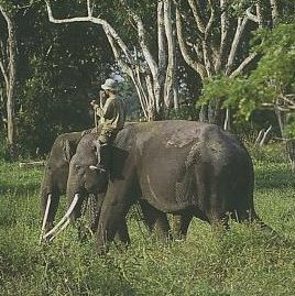 Taman Way Kambas – Lampung Menengok Atraksi Gajah di Habitat Asli