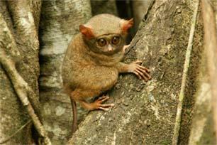 Mengenal Primata Kecil di Tangkoko