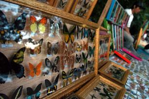 Melihat Koleksi Kupu-kupu di Bantimurung