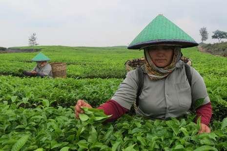 Objek Wisata Baru di Sumut: Kebun Teh Tobasari