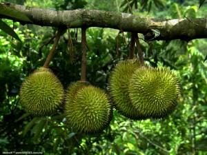 kebun-durian-warso